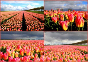 Yvonne collage beemster tulpen (Small)